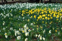Lots and lots of daffodils