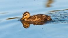 Duckling on Manzanita Lake